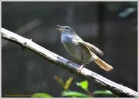 野鳥園のウグイスとコマドリ - 野鳥の素顔 <野鳥と・・・他、日々の出来事>