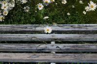 ベンチとマーガレット - フォトな日々