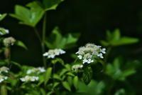 虫を呼ぶしくみガクアジサイ(額紫陽花) - 身近な自然を撮る