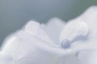 忘色紫陽花 - 花々の記憶    happy_momo