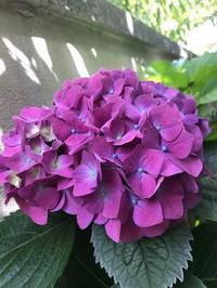 ☆紫陽花の開花☆ - クリプタ行徳スタイル