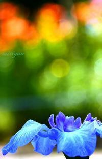 花ショウブ - 写真でイスラーム