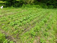 初夏、野菜の生長 - 田舎と孤独と私