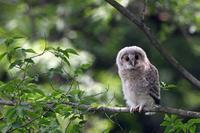 今年も巣立ったフクロウ - 比企丘陵の自然