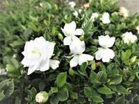 クチナシの花 - だんご虫の花
