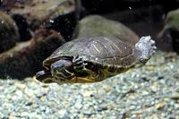 1月の水生物館~泳ぐミシシッピアカミミガメとミズグモBABY(井の頭自然文化園) - 続々・動物園ありマス。