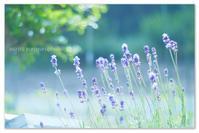 ラベンダーの花びら。 - Yuruyuru Photograph