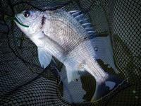 ここ最近の釣行まとめ - 淀川・キビレ・ラボラトリー