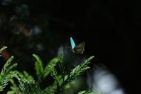 2018.5.25神奈川・雑木林の朝オオミドリシジミ2018.6.7 (記) - たかがヤマト、されどヤマト