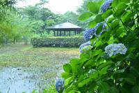 雨とあじさいの猿江恩賜公園 - kenのデジカメライフ