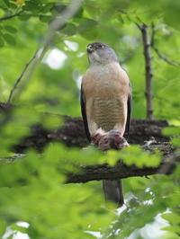 ツミの餌渡し - コーヒー党の野鳥と自然 パート2
