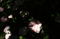 紫陽花の頃 - ぴんの助でございます
