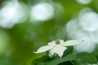 ヤマボウシ(松山総合公園) - かたくち鰯の写真日記2