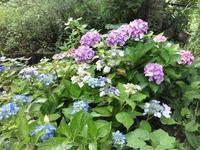 鉢植えの紫陽花 - だんご虫の花