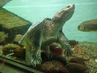 1月の水生物館~カミツキガメ「ショウゾウ」と外来魚たち - 続々・動物園ありマス。
