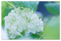 白紫陽花。 - Yuruyuru Photograph
