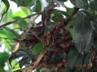 ヒヨドリが家の庭木に巣を作っています(1) - Das Notizbuch von ka2ka ― ka2kaの雑記帳