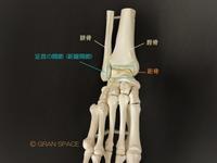 『全身の関節15』足首の関節 (距腿関節) その1 - 整体院 GRAN SPACE からだブログ