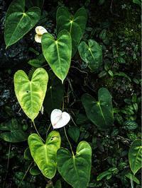 白い花のアンスリウム - Hi Bi +