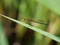 最近撮影した蜻蛉 - 風任せ自由人