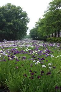 赤堀しょうぶ園 (1) (撮影日:2018/6/6) - toshiさんのお気楽ブログ