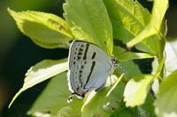 今季初の蝶です。 - takiのカメラ散歩~☆