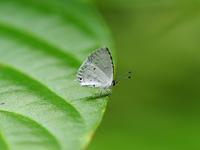 西表の蝶タイワンクロボシシジミとクロテンシロチョウByヒナ - 仲良し夫婦DE生き物ブログ