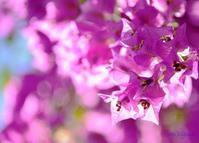 ブーゲンビリア(1)小さな花 - 写真でイスラーム