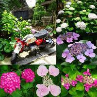 紫陽花 - NATURALLY