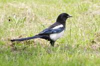カササギキビタキ - 今日の鳥さんⅡ