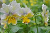 まだまだ咲いてるビオラたち - アトリエ・アキ