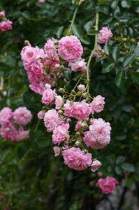 薔薇の花(我が家の庭から) - きょうから あしたへ その2