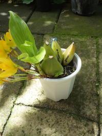 リカステアロマティカの植え替え - 庭日和