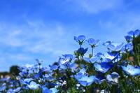 青色ネモフィラ鶴見緑地 - 司法書士 行政書士の青空さんぽ