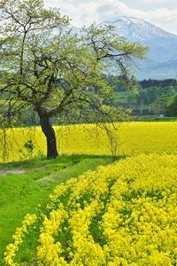 菜の花③ - Photo Of 北海道大陸