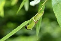オオモクメシャチホコの幼虫 - こんなものを見た2