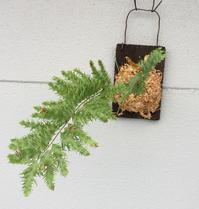 ドリナリア リギデュラ ホワイティ(Drynaria rigidula 'Whitei')2 - Mini Botanical Life