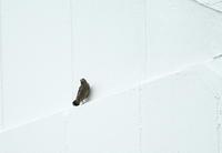 飛行訓練(イソヒヨドリの幼鳥。) - 蓮華寺池の隣5