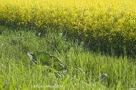 菜の花の咲く頃 - ekkoの --- four seasons --- 北海道