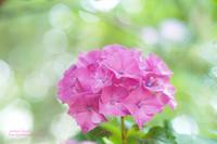 紫陽花の季節 - jumhina biyori*