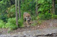 トラと雨宿り - 動物園へ行こう