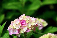 紫陽花の雨 - ちょっとそこまで