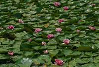 睡蓮の池 - まほろば 写真俳句