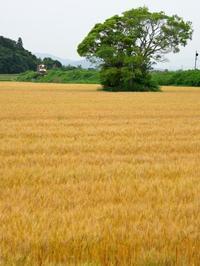 麦畑 - にゃんたの写真日記