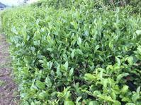 お茶の新芽がかなり伸びちゃった - 蔵カフェ飯島茶寮
