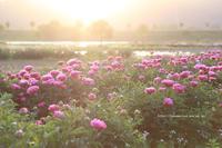 シャクヤク畑 - 野沢温泉とその周辺いろいろ