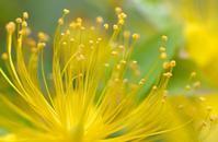 梅雨に咲く ビヨウヤナギ - 旅のかほり