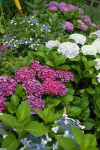 ご近所の紫陽花も盛りに! - 柳に雪折れなし!Ⅱ