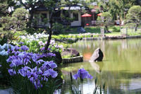 肥後細川庭園の肥後花菖蒲 - 子猫の迷い道Ⅱ