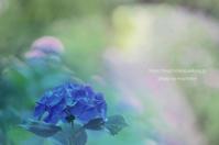 本光寺紫陽花 - 気ままなたわし